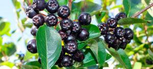 Повышает или понижает давление черноплодная рябина