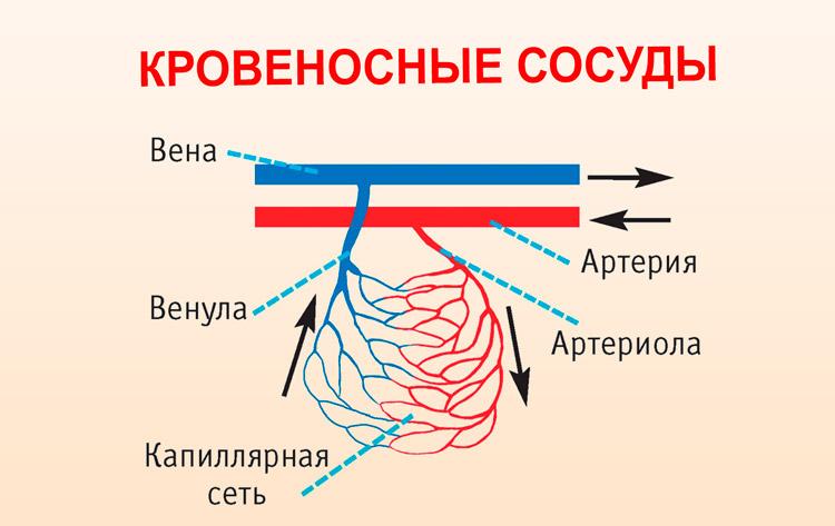 Сосудистая система