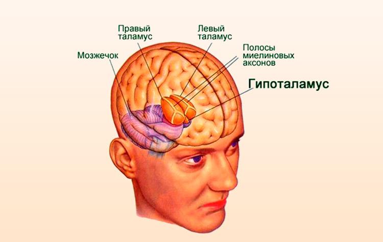 Гипоталамус человека