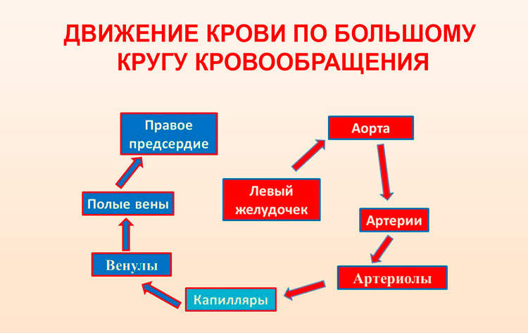 Движение крови по большому кругу кровообращения