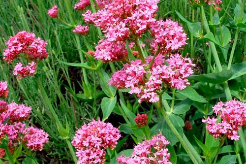 Цветы валерианы