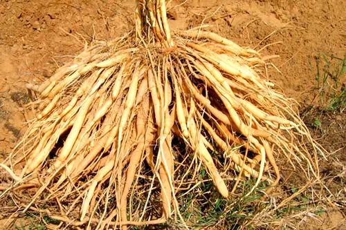 Спаржевый корень