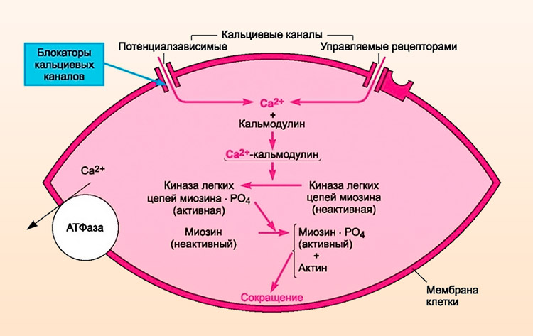Влияние блокаторов кальциевых каналов