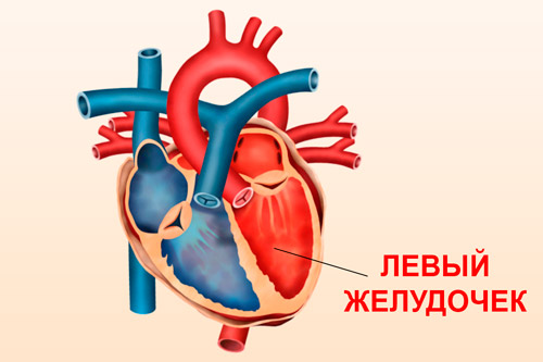 Левый желудочек