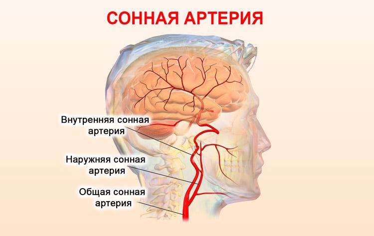 Строение сонной артерии