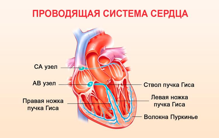 Функция проводимости сердца