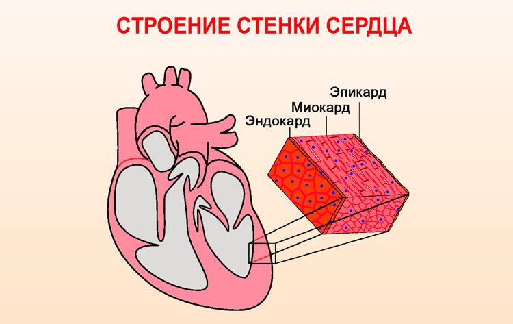Слои стенки сердца