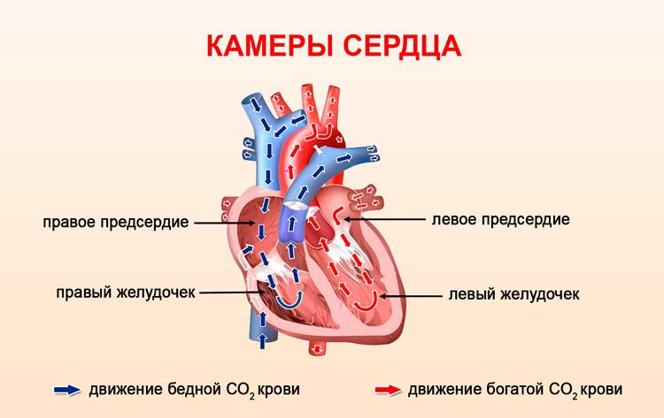Полости сердца