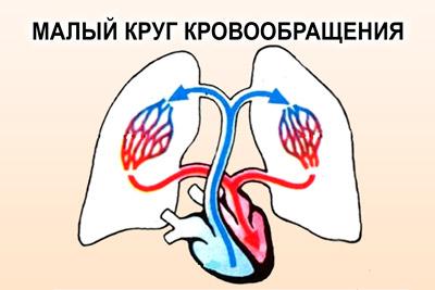 Движение крови по малому кругу кровообращения