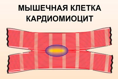 Мышечная клетка кардиомиоцит