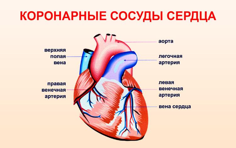 Сердечные сосуды