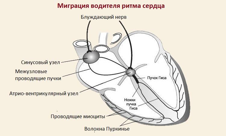 Миграция водителя ритма сердца