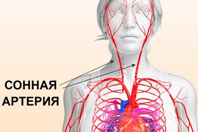 Расположение сонной артерии