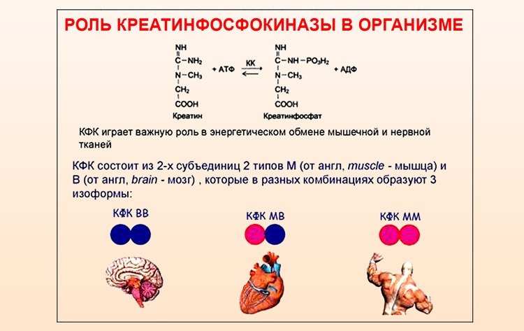 Роль КФК в организме