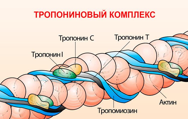 Виды тропонина