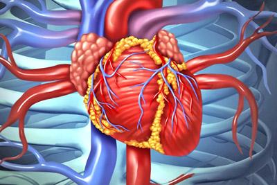 Структура сердечной мышцы и особенности ее функций