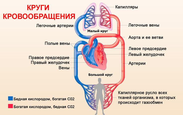 Малый и большой круги кровообращения