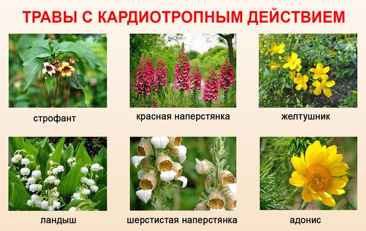 Травы с кардиотропным воздействием